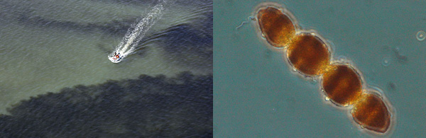 Aerial photo of algae bloom in Chesapeake Bay next to photo of micrscopic phytoplankton called Cochlodinium polykrikoides.