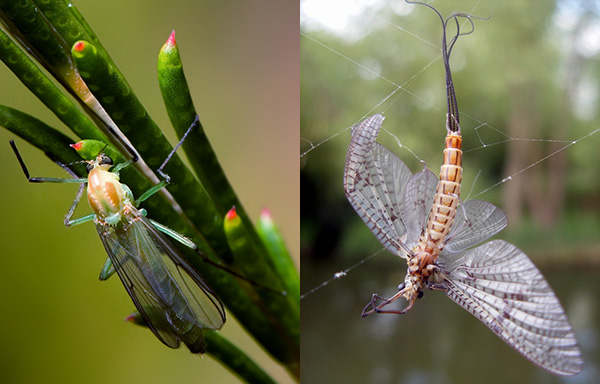 Comparison of non-biting midge and mayfly.