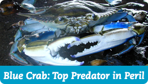 Blue Crab: Top Predator in Peril