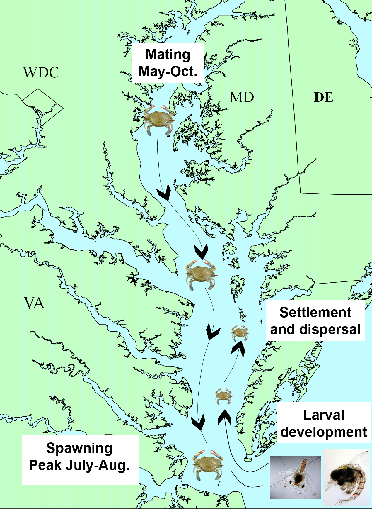 Migrations of adult female crabs (downward) and juvenile crabs (upward) in Chesapeake Bay. Biologists are still figuring out the exact timing and route.