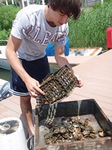 Volunteer dumps oysters from a crab collector
