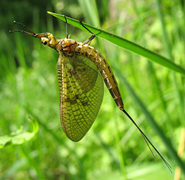 Mayfly Ephemera danica.